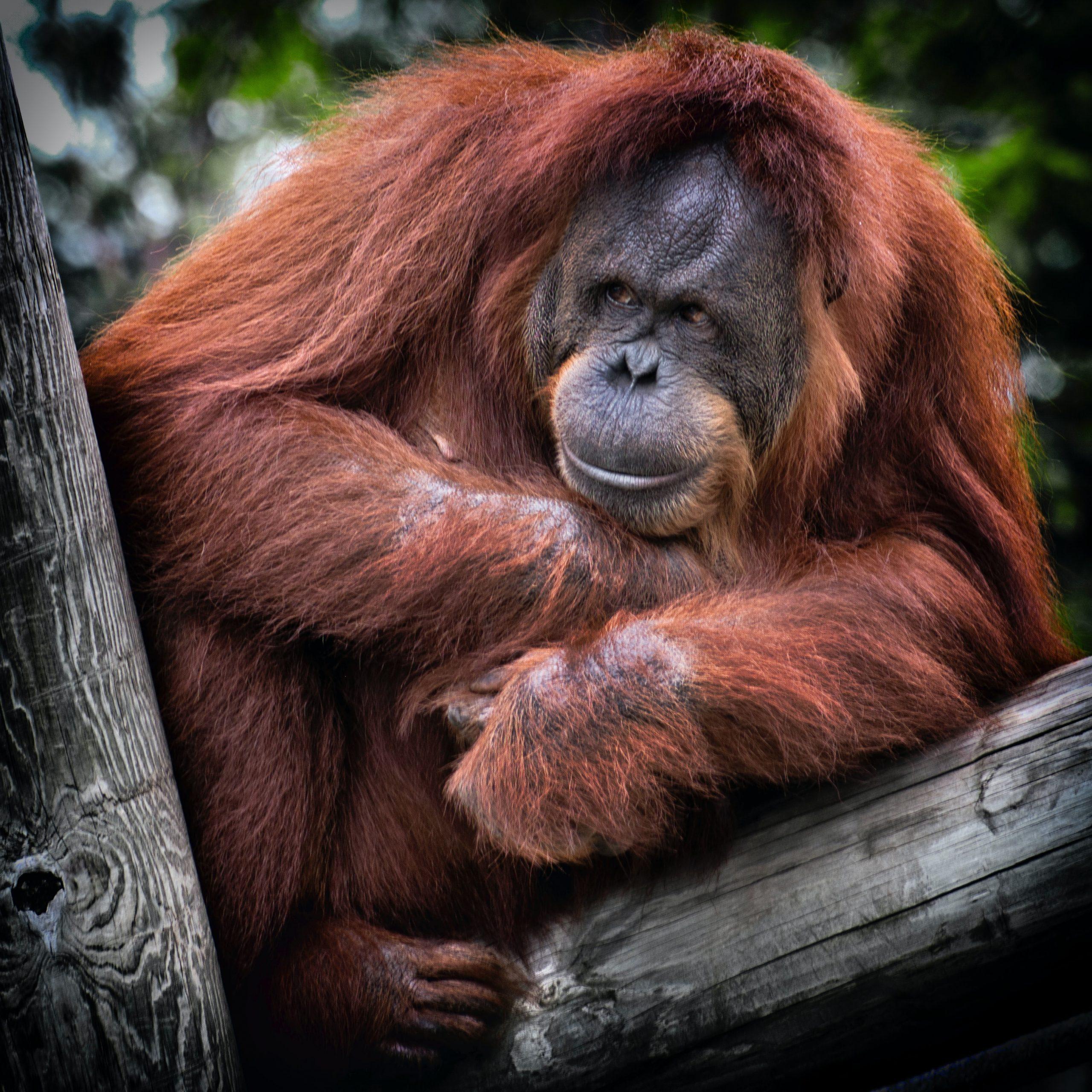Ganz entspannt sitzt der Orang Utan auf dem Seil und betrachtet uns Menschen. Was ihm wohl durch den Kopf geht?